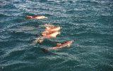 dolphins at Monkey Mia (click for enlargement)